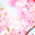 「おすすめ桜MAP」ひめじとはりま
