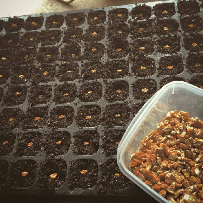 自家採種をしたトウモロコシの種を播く